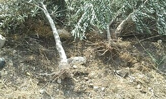 Jews to Replant Destroyed Olive Trees
