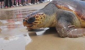 Sea turtle with damaged shell is found to be pregnant