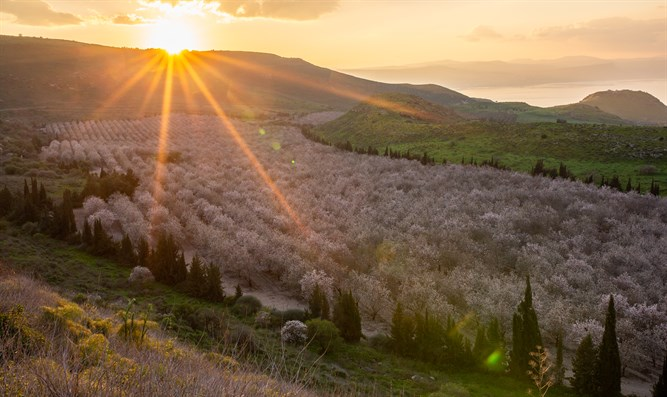 Blossoming almond trees in Golan Heights, northern Israel